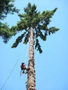 tree faller climing tree