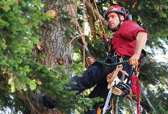 arborist climbing a tree to inspect it